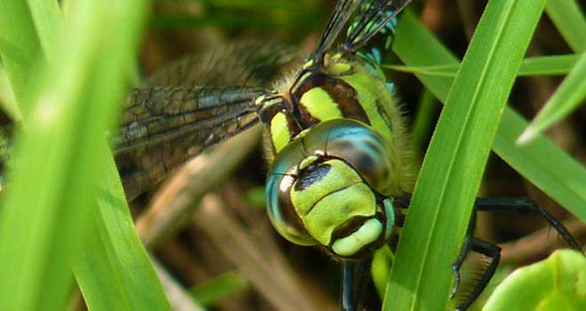 Dragonfly Face By ~IndianRain