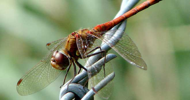 Red Dragonfly By George Kay