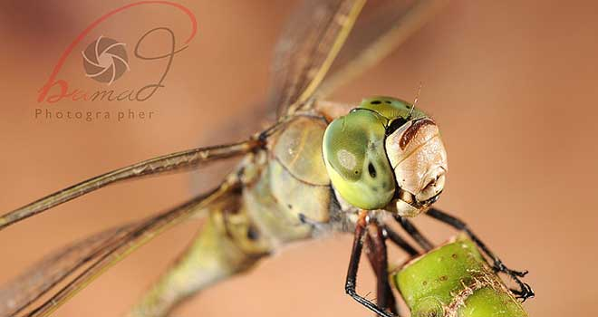Dragonfly By Hamad AL-Mohannna