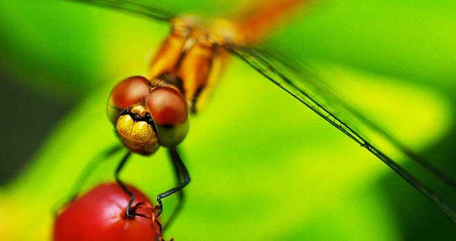 Dragonfly By Takahiro Fujita