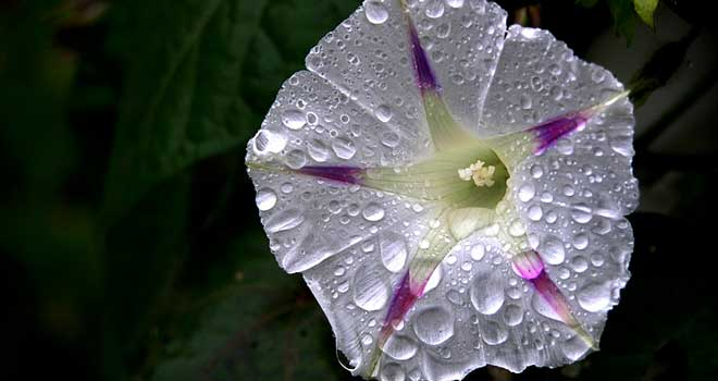 Morning Glory After The Rain