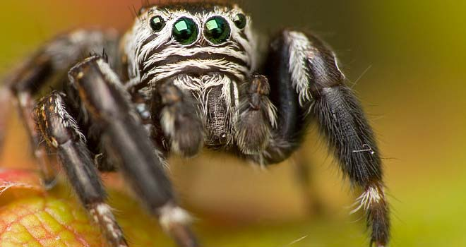 Jumping Spider by Kasia Rozya