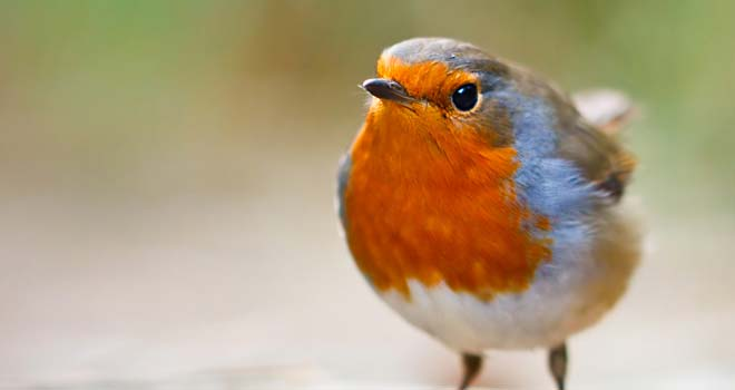 Close Up Robin by Nadav Bagim